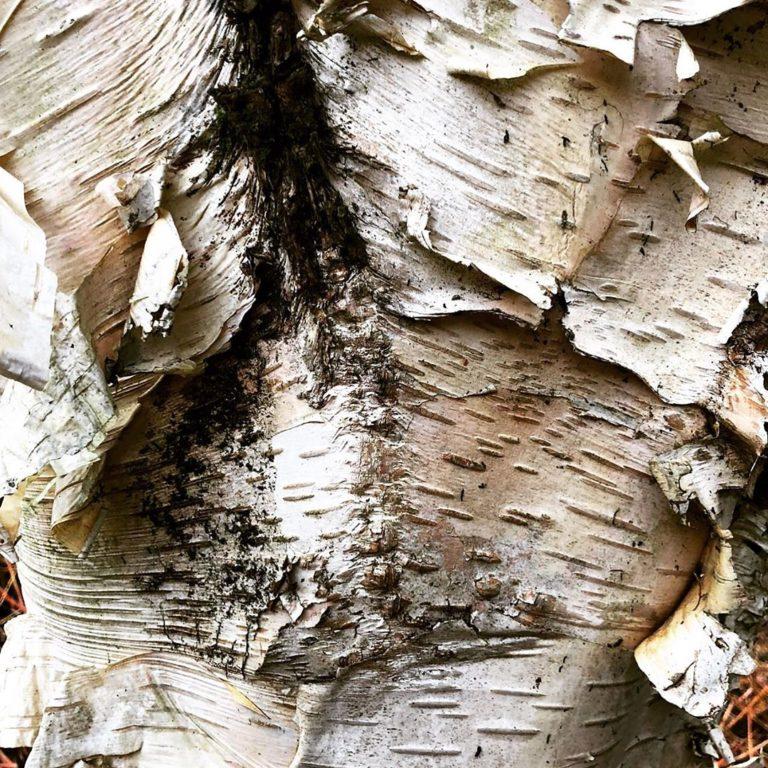 Birch_Bark_by_RochelleMcConnachie