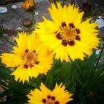 Coreopsis_grandiflora__by_RochelleMcConnachie