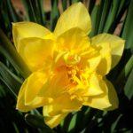Daffodil_by_RochelleMcConnachie
