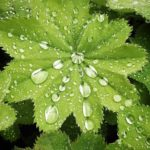 Raindrops_On _Alchemilla_Mollis_by_RochelleMcConnachie