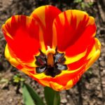 Yellow_and_Red_Tulip_by_RochelleMcConnachie