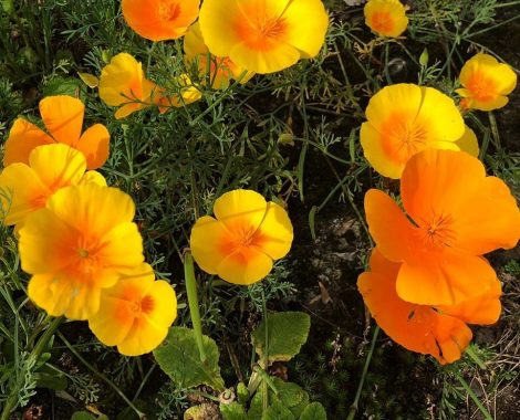 Californian_Poppies_by_RochelleMcConnachie