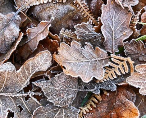 Frosted_Leaves_by_RochelleMcConnachie
