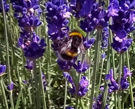Lavender_and_Bumble_Bee_by_RochelleMcConnachie