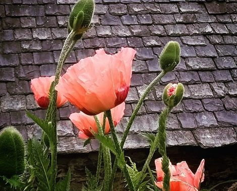 Poppies_against_a_slate_roof__by_RochelleMcConnachie